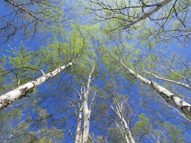 初夏の青空と白樺の森