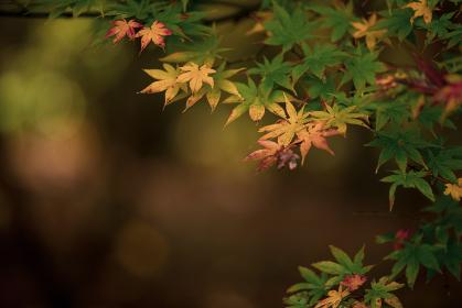 晩秋の風景 色づいたもみじ 11月