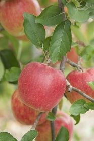 リンゴ畑 陽光