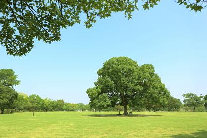 公園の大きなイチョウの木
