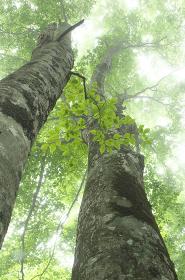靄に包まれたブナ林