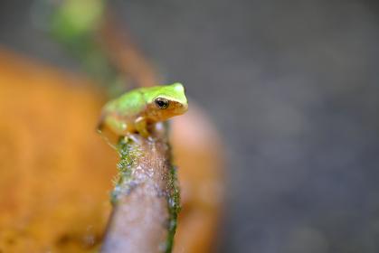 枝に乗る横向きのカエルの幼生【マクロ】