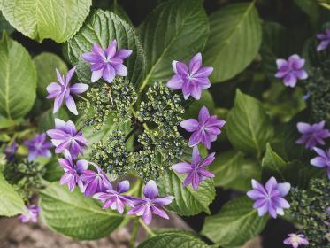 東京、白山神社の紫陽花の花々 6月