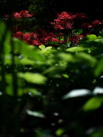 日本庭園の彼岸花 9月