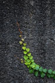 壁を登っていく蔦の若葉が緑色のグラデーションを描く
