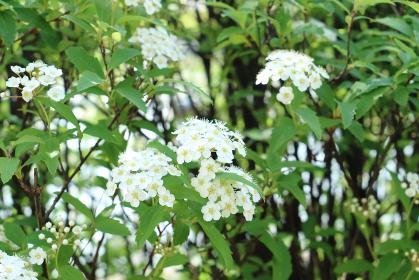 コデマリの花 6