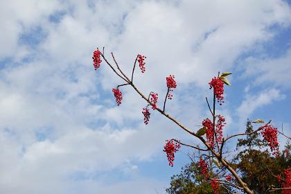 赤い実をたくさんつけたイイギリの枝と雲のある青空