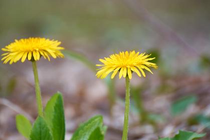 横から撮影したタンポポの花