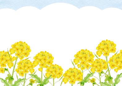 菜の花 アブラナ 春 背景 フレーム 水彩 イラスト