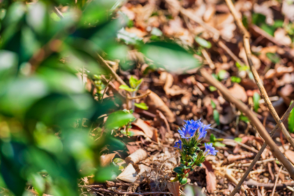 青くて小さな美しいフデリンドウの花