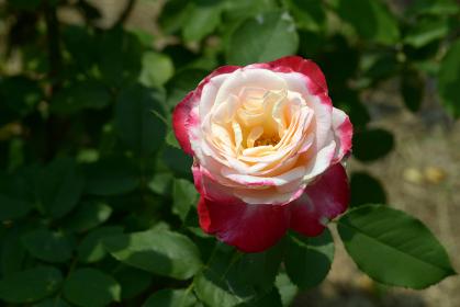 ダブル・デライト バラの花
