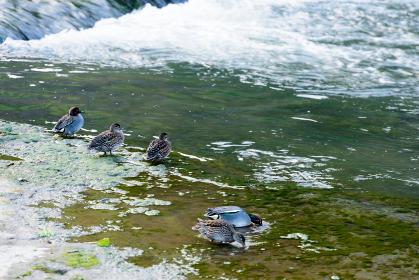 大分県竹田市長湯温泉の芹川の流れに遊ぶカモ