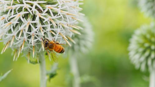 ルリタマアザミとミツバチ
