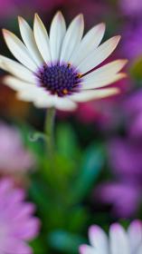 白い花、オステオスペルマム(アフリカキンセンカ、アフリカンデージー)