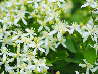 白い小さな花クレマチス