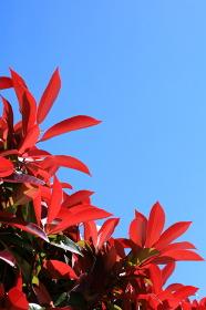 赤い若葉と青空(縦)