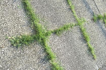 コンクリートの隙間から育っている芝