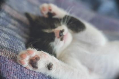 室内で仰向けに眠っている白黒雑種の子猫の肉球のクローズアップ写真