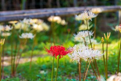 赤い曼珠沙華の花