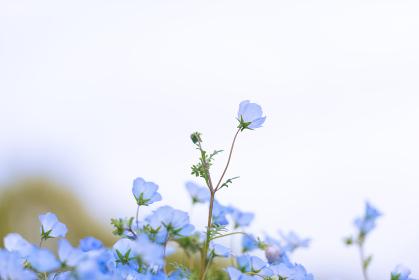春の火の山公園に咲く綺麗なネモフィラ