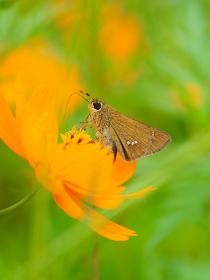 色鮮やかオレンジ色の花キバナコスモスと蝶