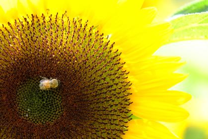 ヒマワリの密を吸う可愛い蜜蜂