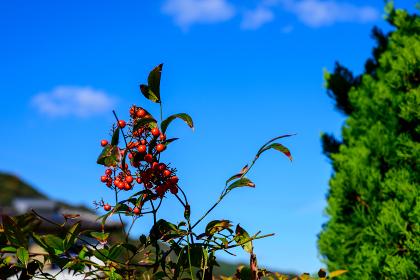 秋の爽やかな青空と南天