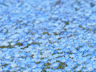 一面に広がるネモフィラの花畑