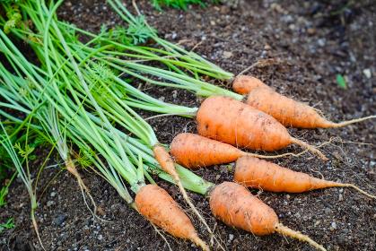 家庭菜園の人参 収穫 野菜