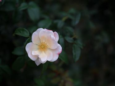 しっとりとした空模様の日のバラ