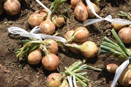 家庭菜園・玉ねぎの収穫