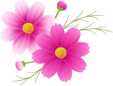 ピンクのグラデーションのコスモスのカットイラスト、秋イメージ